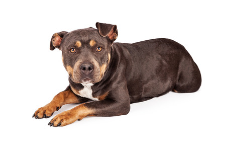 bull dog: A cute tri-color Pit Bull dog laying down and looking at the camera