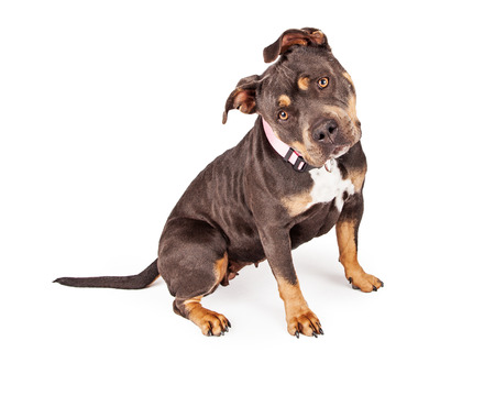 bull dog: A cute female tri-color Pit Bull dog wearing a pink collar and tilting her head Stock Photo