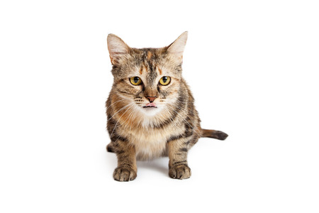 laying forward: An alert and attentive  Domestic Shorthair Tortie Cat laying with body facing the camera licking its lips while looking forward. Stock Photo