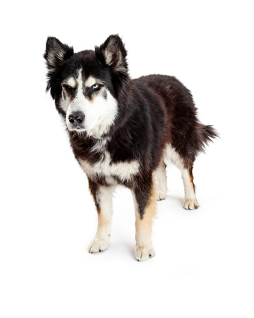 scowl: A large Alaskan Malamute mixed breed dog standing with an angry scowl expression on his face isolated on a white studio background.