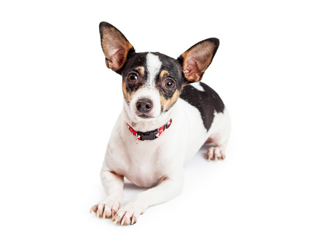 attentive: An attentive and well trained Chihuahua Dog laying while looking forward Stock Photo