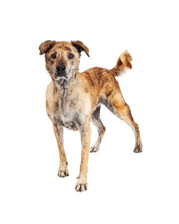 brindle: Beautiful large Labrador and Chow mixed breed dog with brindle markings on his coat standing and looking forward with an intent expression isolated on a white studio background. Stock Photo