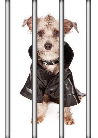 jacked: Funny terrier bad dog with mohawk hair wearing leather jacked and spiked collar behind bars