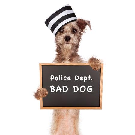 perro policia: Mugshot imagen divertida de un perro malo que lleva un sombrero de prisioneros con un cartel de reserva