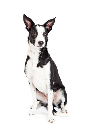 Beautiful young medium size mixed breed dog sitting and looking to the side isolated on a white studio background.