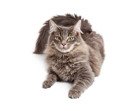 laying forward: Beautiful adult gray color domestic medium hair cat laying down and looking straight forward at the camera