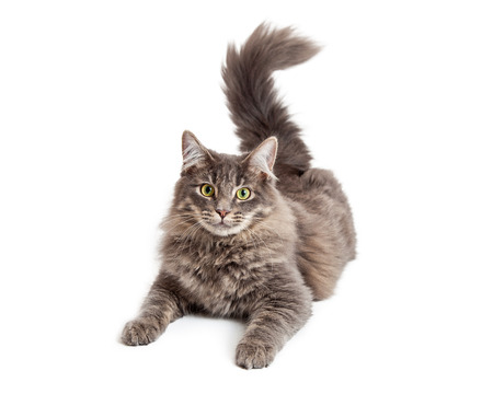 medium length: Beautiful adult gray color domestic medium hair cat laying down and looking straight at the camera Stock Photo