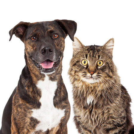 Closeup image of a cute adult mixed breed dog and cat looking forward at the camera