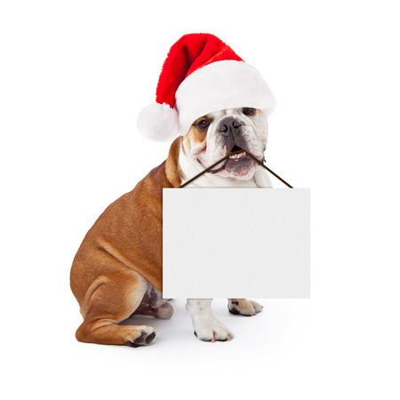 st  nick: A young English Bulldog sitting against a white background wearing a Christmas Santa Claus hat and holding a blank sign in his mouth
