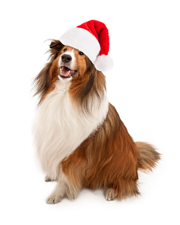 st  nick: Tan and white Shetland Sheepdog wearing a red Christmas Santa Claus hat