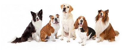 medium shot: A row of six common dog breeds for families Stock Photo