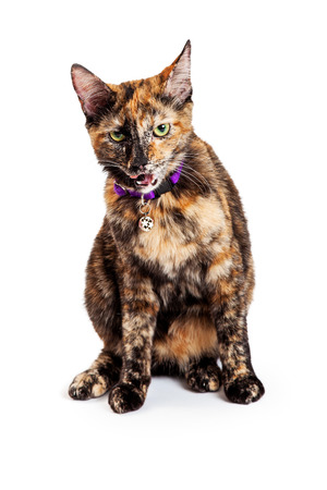 彼の口を開いてかわいい若いベンガルの猫 写真素材