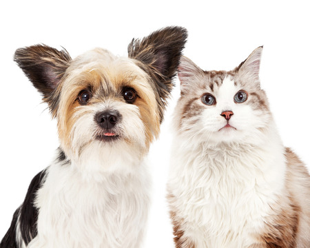 Close-up image of a cute Yorkshire Terrier mixed breed dog and a cat together