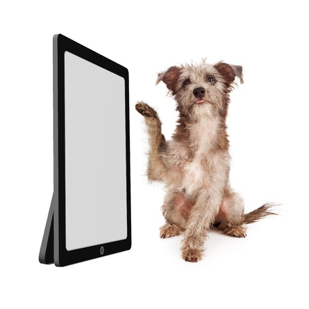 screen: A little terrier mixed breed puppy dog raising a paw to touch a large computer device with a blank screen Stock Photo