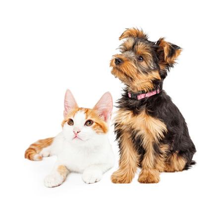 Schattige kleine kitten en Yorkshire Terrier ras hond samen kijken uit naar de kant