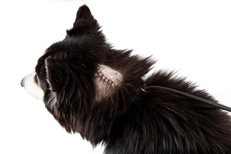 Dog with a shaved area of fur revealing stitches on a large cut from a recent surgery to remove a tumor isolated on a white studio background.