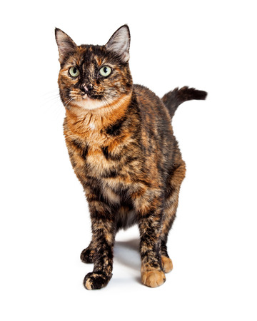 calico cat: A gorgeous green eyed Domestic Shorthair Mixed Breed Calico Cat standing while looking off to the side.