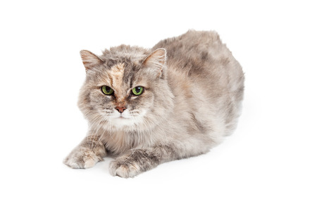 medium length: A very attentive Domestic Medium Hair Mixed Breed Tortie Cat laying facing forward with paws outstretched. Stock Photo