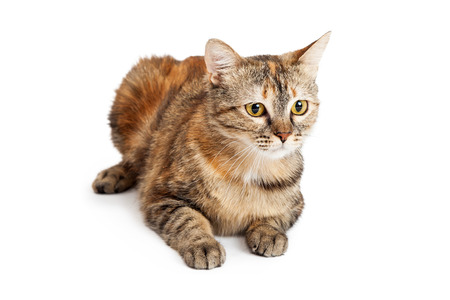 side keys: A beautiful Domestic Shorthair Tortie Cat laying while looking off to the side. Stock Photo