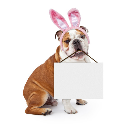 A young English Bulldog wearing Easter Bunny ears and holding a blank sign in his mouth Stock Photo