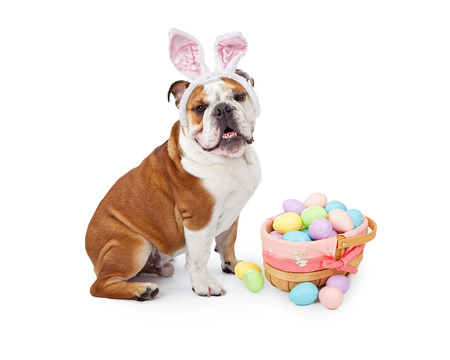 A young English Bulldog wearing Easter Bunny ears sitting next to a colorful basket of eggs Stockfoto