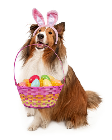 Shetland Herdershond dragen Easter Bunny oren met een mand van kleurrijke eieren