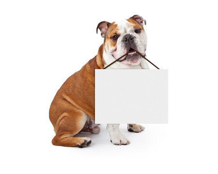 A young nine month old English Bulldog sitting against a white background holding a blank sign in his mouth