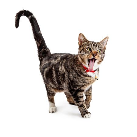 Een leuke jonge Bengaalse kat lopen met een grappige uitdrukking, open mond en tong uitsteekt