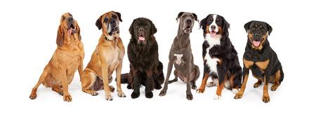 Groep van grote rassen honden zitten in een rij