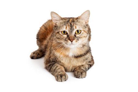 looking directly at camera: A gorgeous Domestic Shorthair Tortie Cat laying while looking directly into the camera.