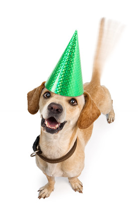 wagging: A cute young Chiweenie (Dachshund and Chihuahua cross-breed) puppy dog wearing a birthday hat with motion blur from a wagging tail. Isolated on white.