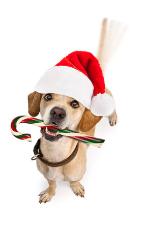 wagging: A cute young puppy dog wearing Christmas Santa Claus hat and holding a candy cane with motion blur from a wagging tail Isolated on white.
