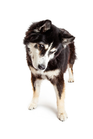 tilting: A beautiful large Alaskan Malamute mixed breed dog standing, tilting head and looking down on the ground isolated on a white studio background. Stock Photo