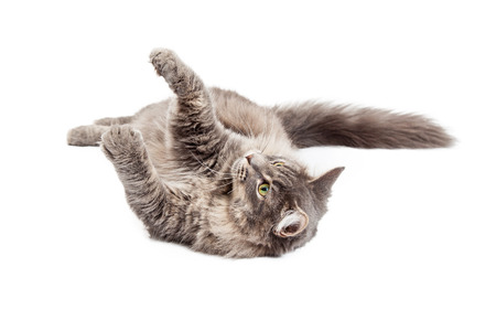 medium body: Playful young gray color domestic medium hair cat laying on his back with arms raised up to play