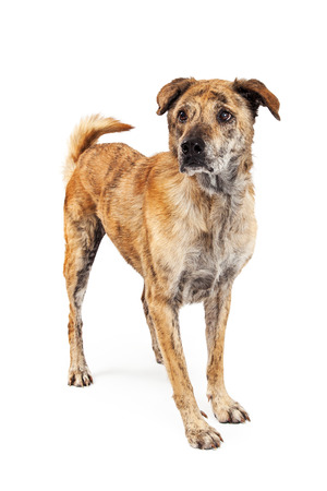 brindle: Beautiful large Labrador and Chow mixed breed dog with brindle markings on his coat standing up and to the side isolated on a white studio background. Stock Photo