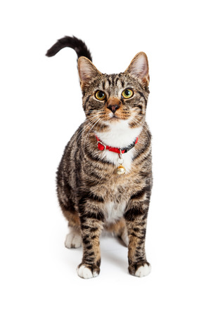 A beautiful young Bengal breed cat wearing a red collar with a bell sitting and looking forward Фото со стока