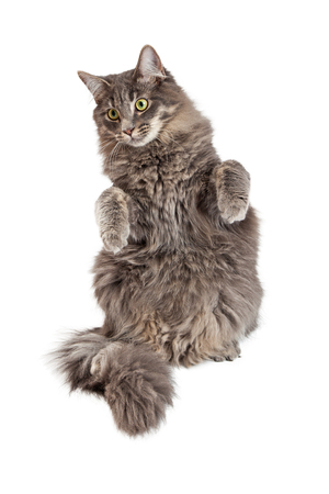 medium body: Beautiful adult gray color domestic medium hair cat sitting up with front paws up in a begging position