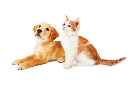 A cute orange and white six kitten and a Golden Retriever puppy sitting together and looking up and to the side Stock Photo