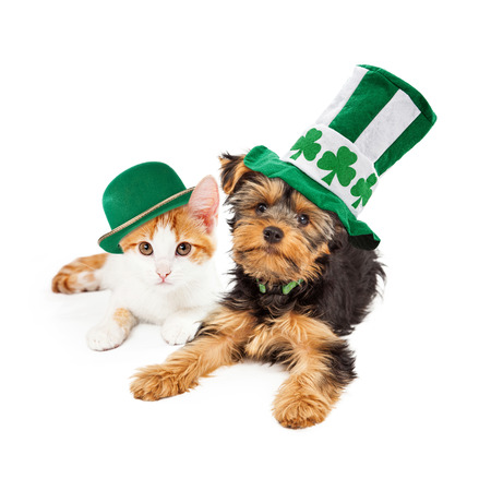 Yellow gold kitten laying next to a Yorkshire Terrier puppy. Both wearing St Patricks Day hats