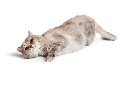 dilute: A pretty adult dilute Tortie breed cat laying on its side and looking up Stock Photo