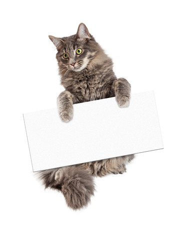 medium body: Beautiful adult gray color domestic medium hair cat sitting up and holding a blank sign to enter your message onto