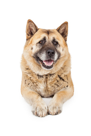 laying forward: A beautiful large Akita breed dog laying down with legs forward Stock Photo