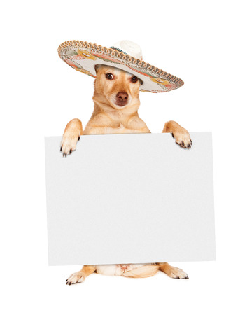 sign board: Chihuahua crossbreed dog sitting up and holding a blank white sign while wearing a Mexican sombrero hat Stock Photo