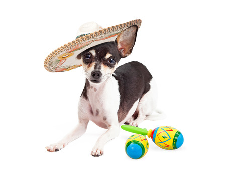 Cute Chihuahua breed dog wearing a mexican sombrero laying next to a pair of maracas to celebrate Cinco De Mayo.