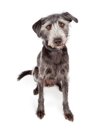 Cute grey color terrier crossbreed dog sitting Stock Photo