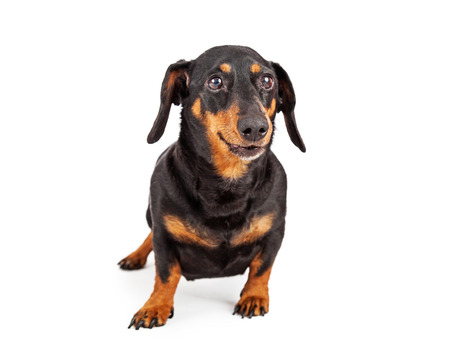 A cute adult Dachshund breed dog isolated on a white background