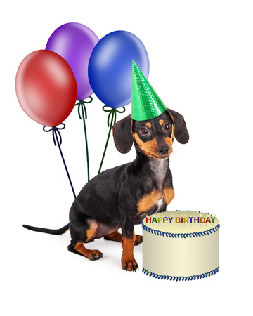 doxie: A cute little purebred Dachshund breed puppy wearing a party hat and sitting with colorful balloons and a birthday cake Stock Photo