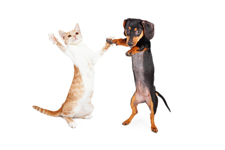 cat toy: A cute little Dachshund breed puppy dog and a tabby kitten standing on their hind legs dancing together Stock Photo