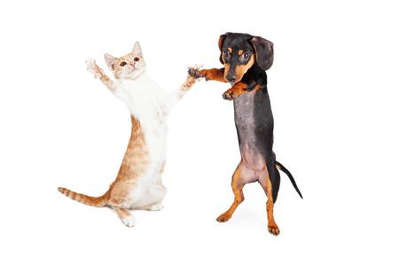 baile: Un poco de raza Dachshund cachorro de perro lindo y un gatito atigrado de pie sobre sus patas traseras bailando juntos