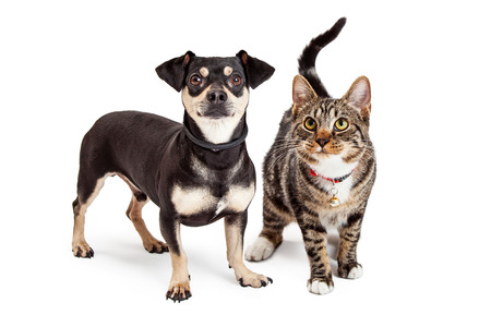 A cute Dachshund and Chihuahua mixed breed dog and a striped tabby cat standing together and looking up Stok Fotoğraf